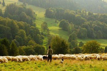 Schafsfleisch und Schafmilch für gesunde Ernährung