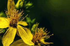 Sonnenpflanze Johanniskraut