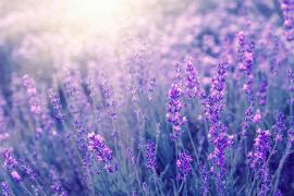 Heilpflanze Lavendel
