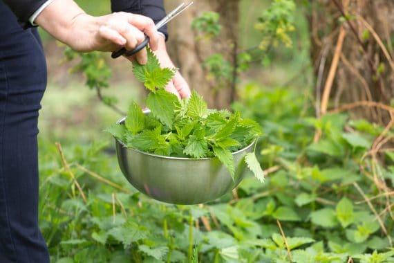Brennnessel Heilpflanze