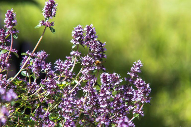 Thymian Heilpflanze