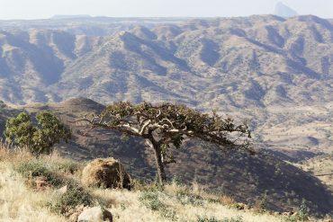 Weihrauchbaum für heilsames Harz