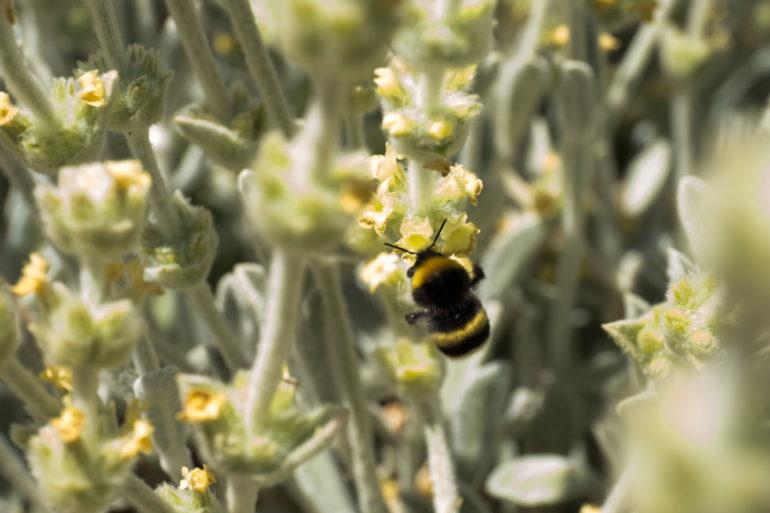Der griechische Bergtee ist eine alte Heilpflanze.