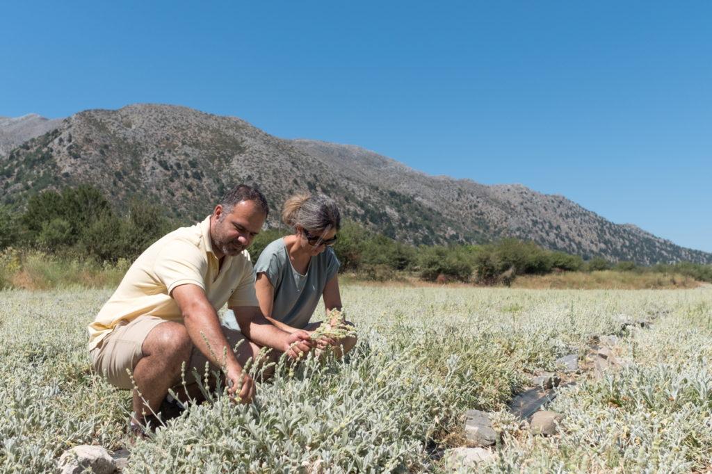 Rodo und Niko kultivieren den Bergtee auf Kreta